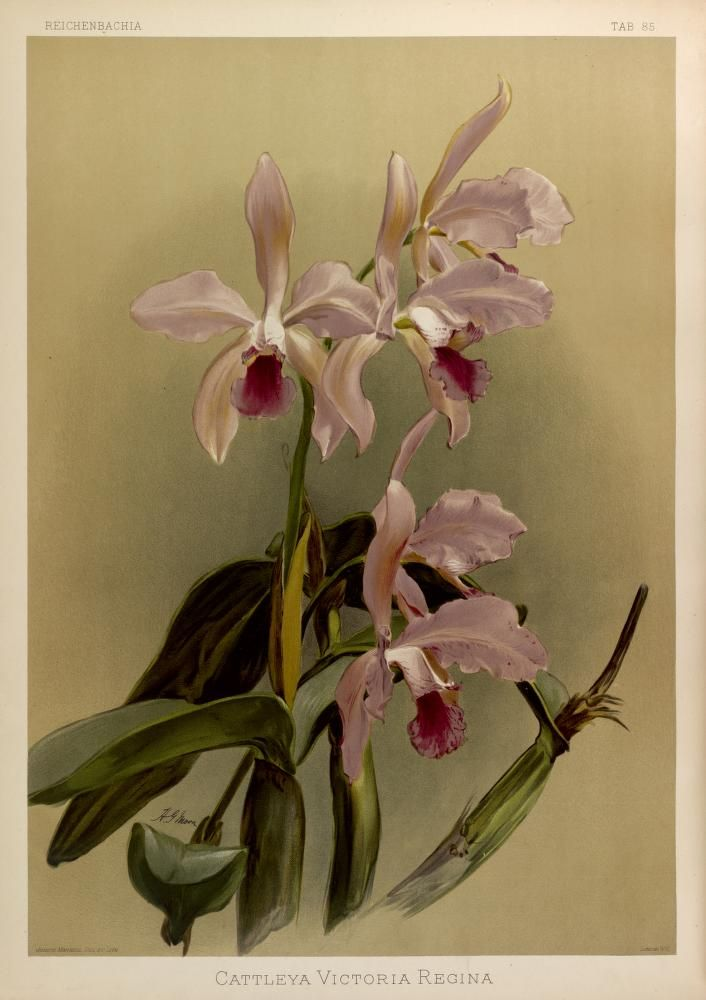 Cattleya Victoria-Regina. Reichenbachia :orchids illustrated and described. Second Series v.2 St. Albans [England] :N.Y. [i.e. New York] :F. Sander ;R.B. Young,1892-1894. Biodiversitylibrary. Biodivlibrary. BHL. Biodiversity Heritage Library