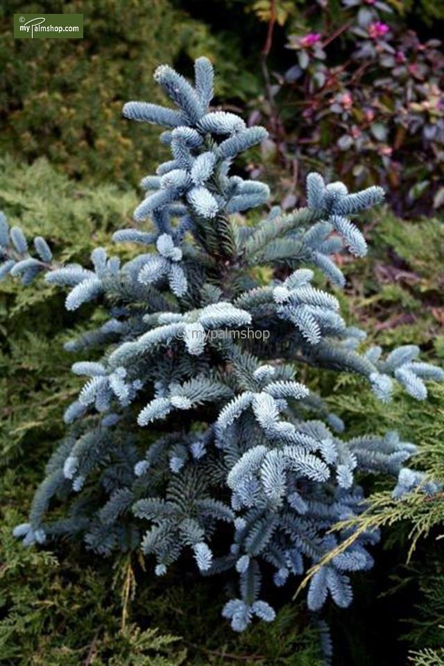Abies Procera Glauca Nana Outdoors Pine Tree Plants Garden