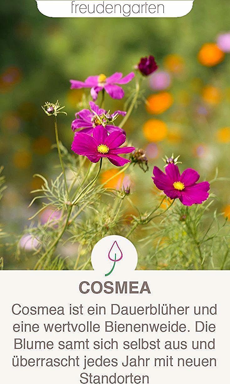 Die Cosmea Oder Schmuckkorbchen Ist Eine Wertvolle Bienenweide Fur Balkon Oder Garten Die Blume Ist Pflege In 2020 Gardening For Beginners Planting Herbs Plant Care