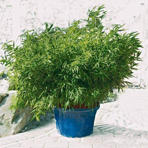 Phyllostachys bissetii perfect!! ) Terrasse pflanzen