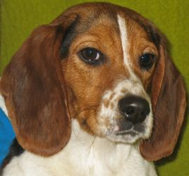 Adopt Wilma On Beagle Beagle Dog Hound Breeds