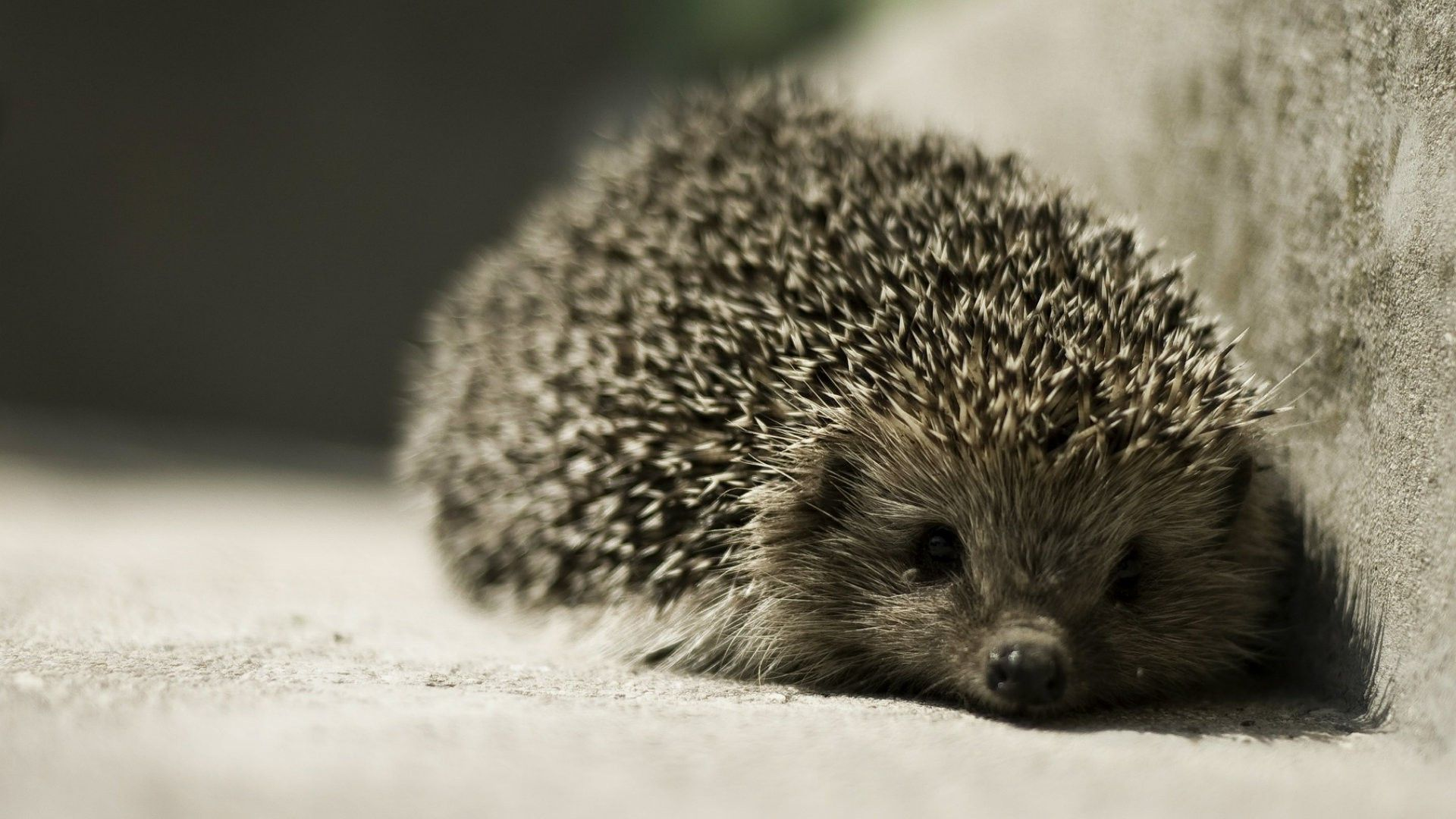 Hedgehog Wallpapers 25 Best Free Hedgehog Hd Wallpaper For Tablet Hedgehog Pet Cute Animal Videos Animal Love Quotes