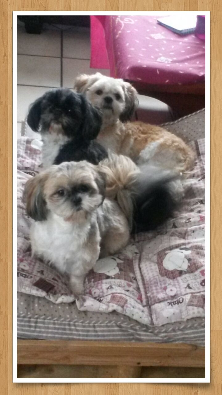 Mes Shih Tzu Devant Mey Li Au Centre La Maman Tutzi Et Derriere Mitsu Shih Tzu Cute Animals Shih Tzu Puppy