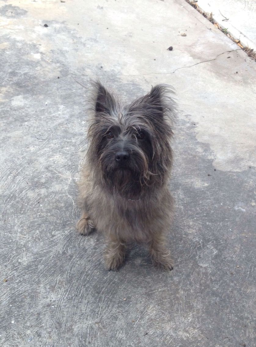 Leo Is Changing Color He Was Blonde Now Is Grey Cairn Terrier Terrier Cairn