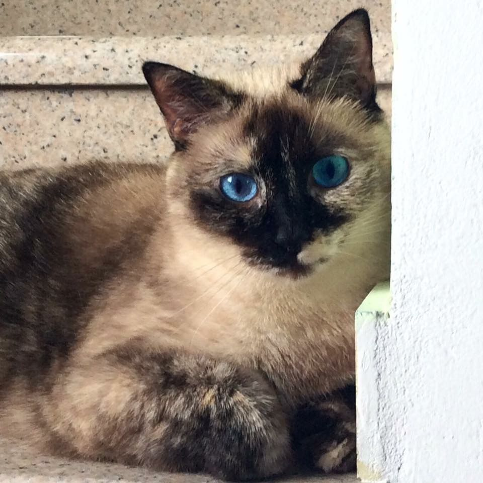 Kiki a tortie point siamese from italy tap the link for Siamese 9 electric motor