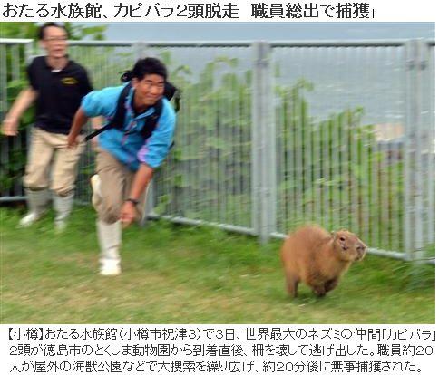 おたる水族館 カピバラ2頭脱走職員総出で捕獲 カピパラって速いんだなwww A Atsuhiko Takahashi Via Http Attrip Jp 106043