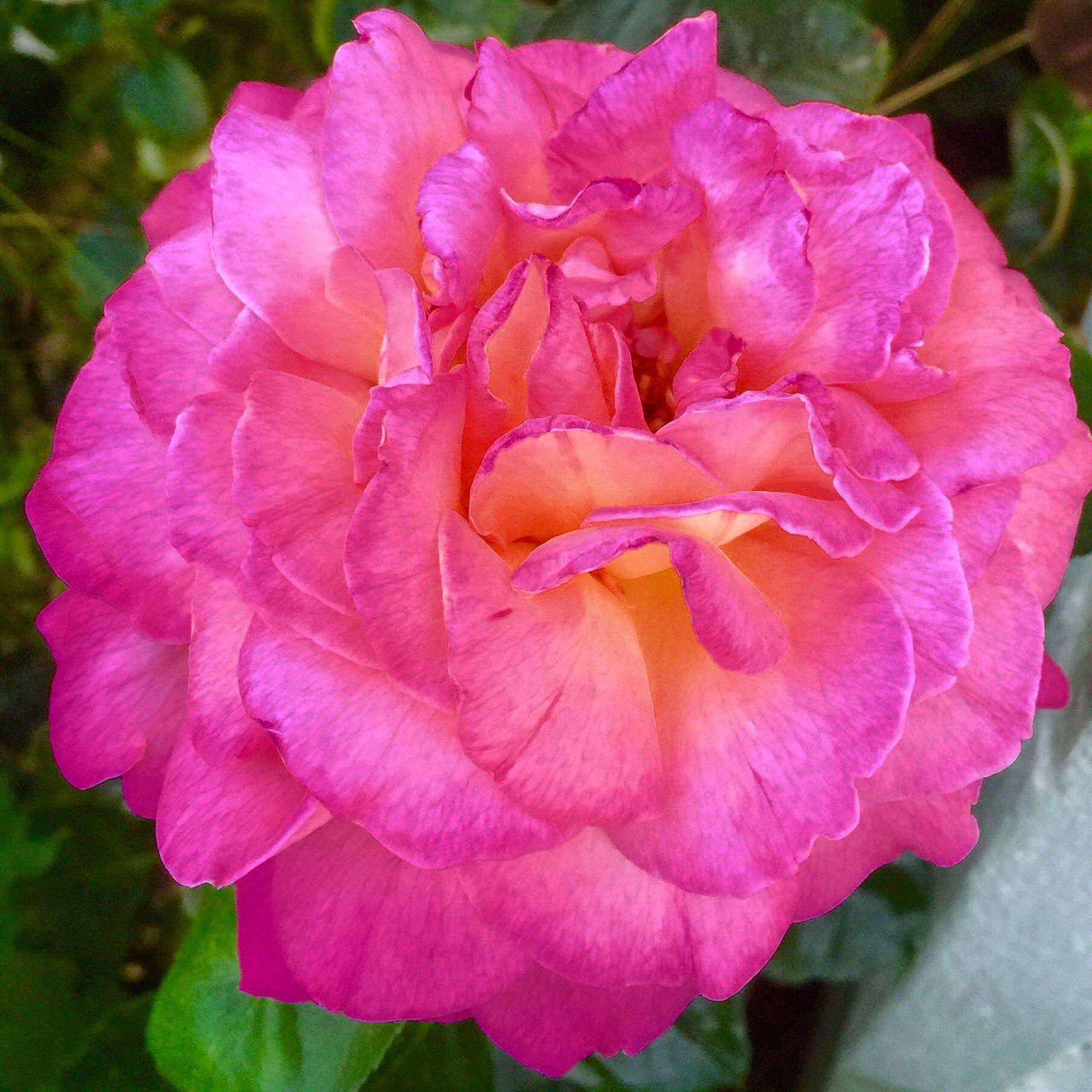 Hot Pink Beauty