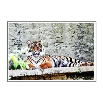 Tiger, Poster, Print, Goldfishdreams Photography, Cute, Adorable , Art, Wall Art, Nature. Animal, Endangered