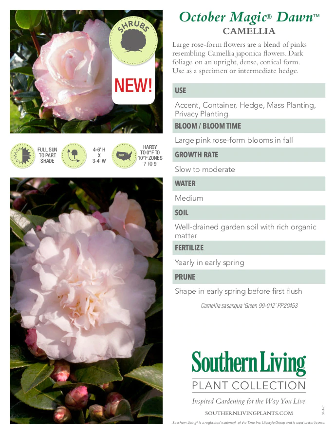 October Magic Dawn Camellia In 2020 Rose Like Flowers Camellia Plant Fall Plants