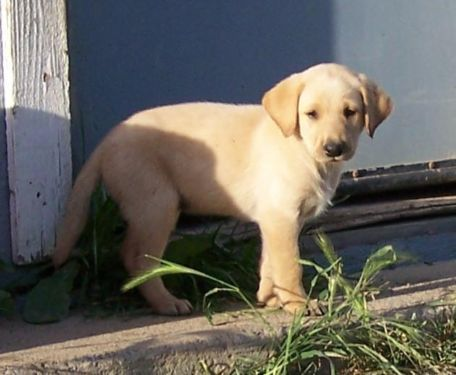 Akc Yellow Lab Puppies Available Now Yellow Lab Puppies Lab