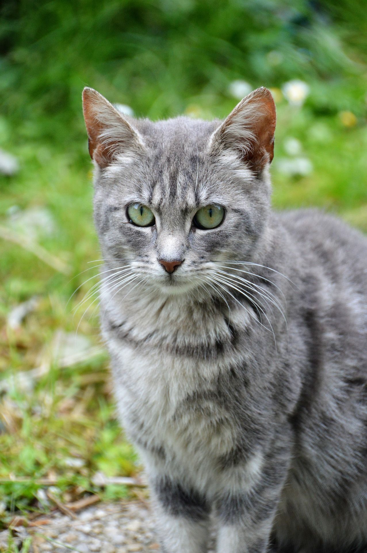 Really Handsome Gray Cat Handsomecat Graycat Graykitty Grey And White Cat Pretty Cats Grey Cats