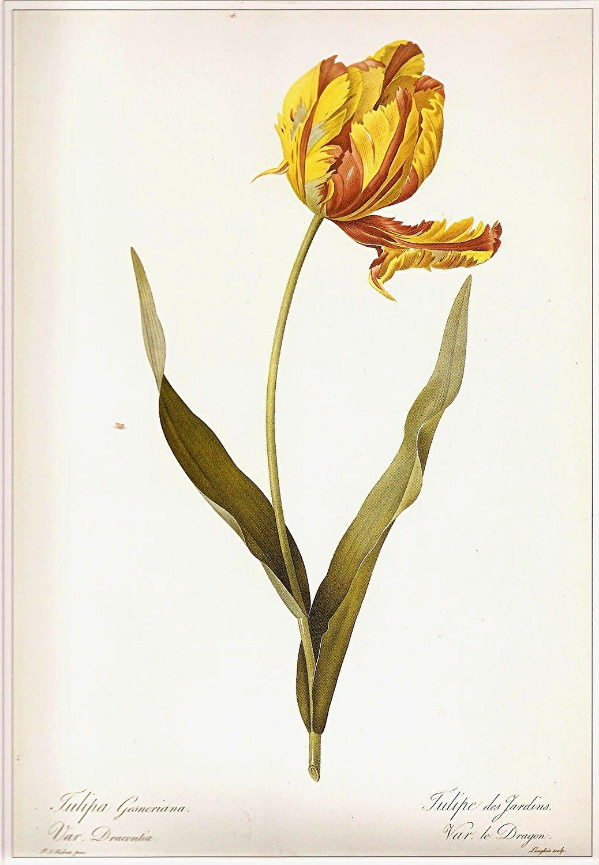 Redoute Botanical Tulip Print Vintage 1990 Art Original Book Plate