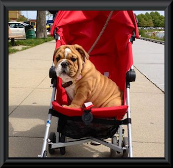 R D Bulldogs Home Of George Bulldog Breeder Located In