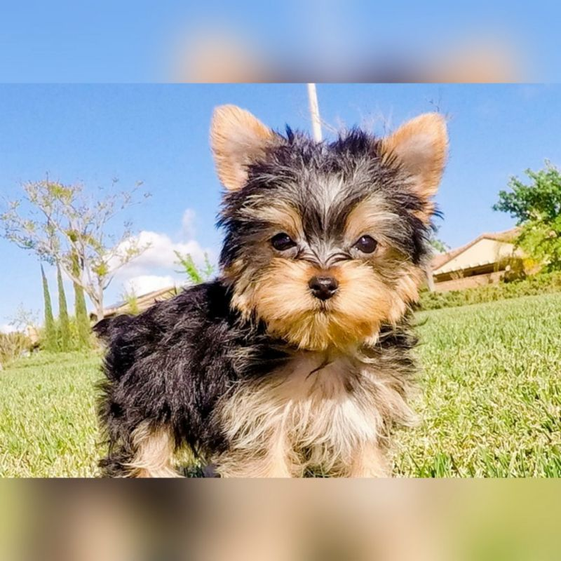 Available Puppies Teacup Yorkie Puppies For Sale Yorkiepuppyforsalenearme Yorkie Puppy For Sale Cute Puppy Breeds Teacup Yorkie Puppy