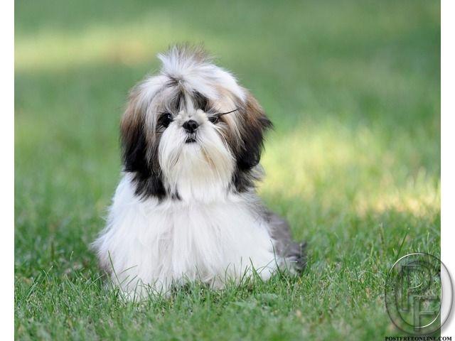 Shitzu Puppies Are Cute To Keep At Home In Mumbai Maharashtra
