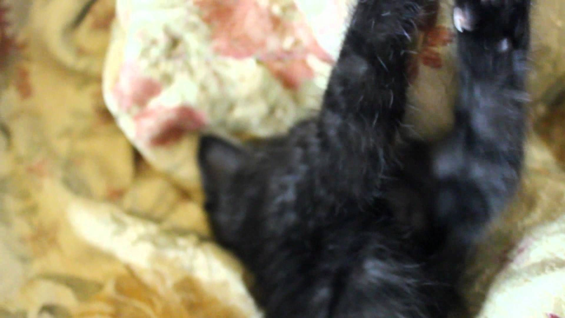 Cute Kitten Has Huge Bear Claws Kittens Cutest Black Kitten Bear Claws