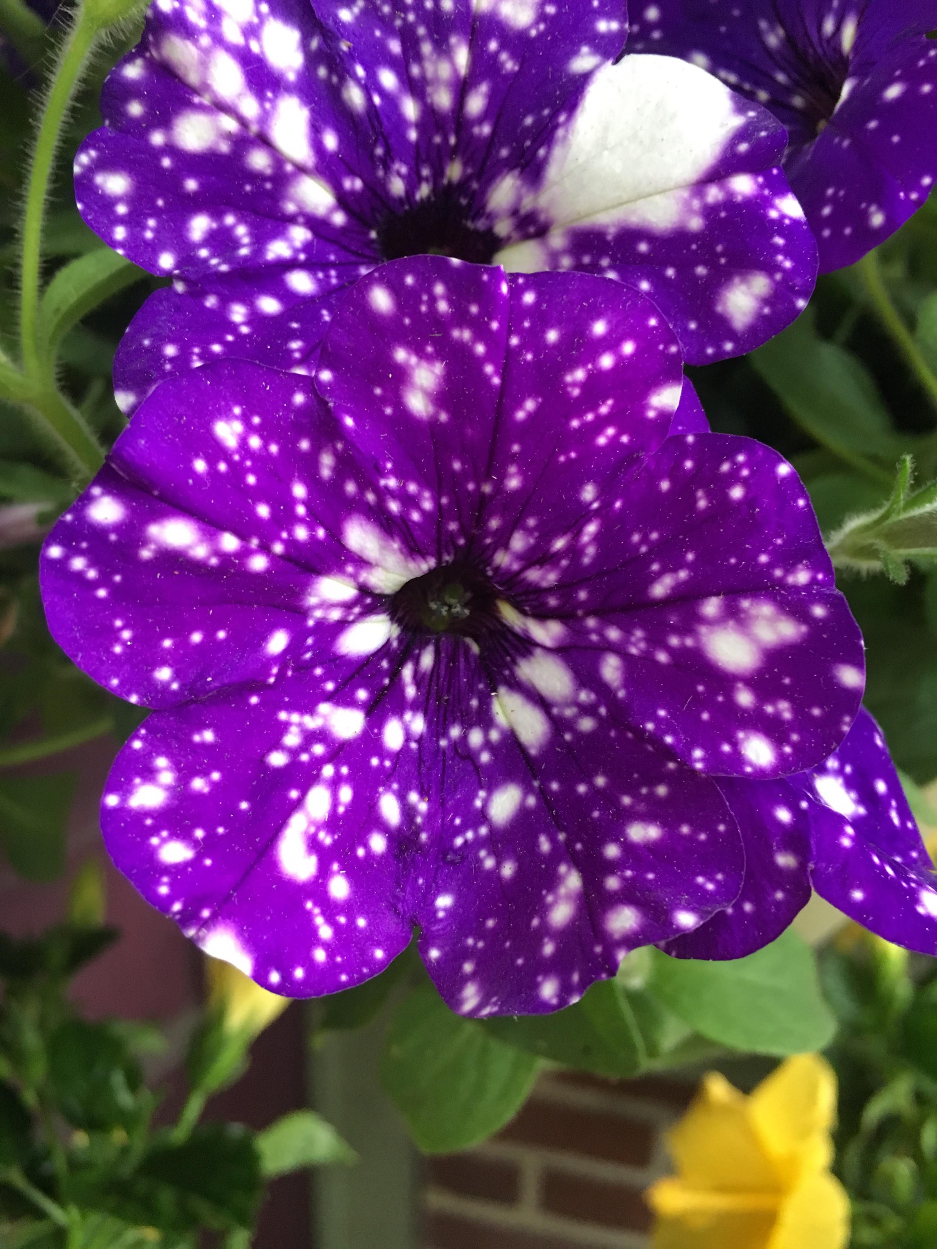 Night Sky Petunias Are Quite Popular On This Sub There S No Denying Why They Re Absolutely Gorgeous Gardening Garden Night Sky Petunia Petunias Flowers