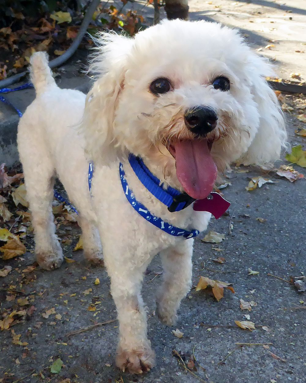 Poodle (Toy) dog for Adoption in Seattle, WA. ADN706137