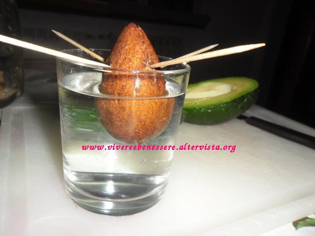 Nocciolo Di Avocado In Acqua ottenere una pianta dal seme di avocado | seme di avocado