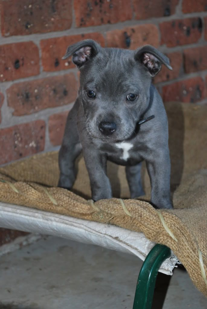 Staffy Puppy Diesel Had A Wrinkly Head Like This When He Was A Baby 3 Bully Breeds Dogs Staffy Dog Blue Staffy Puppy