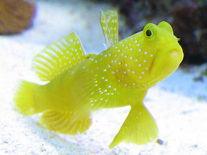 Yellow Prawn Goby Marine Fish Saltwater Aquarium Fish Saltwater Aquarium