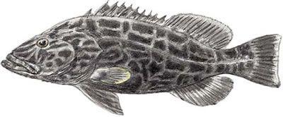 Fish Identification Black Grouper Mycteroperca Bonaci Grouper Grouper Fish Fish