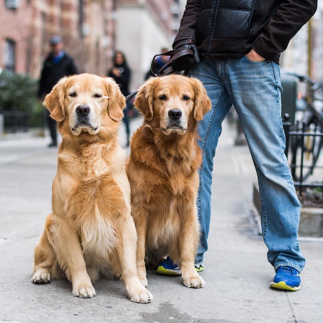 The Dogist Thedogist On Instagram Atticus Chester Golden