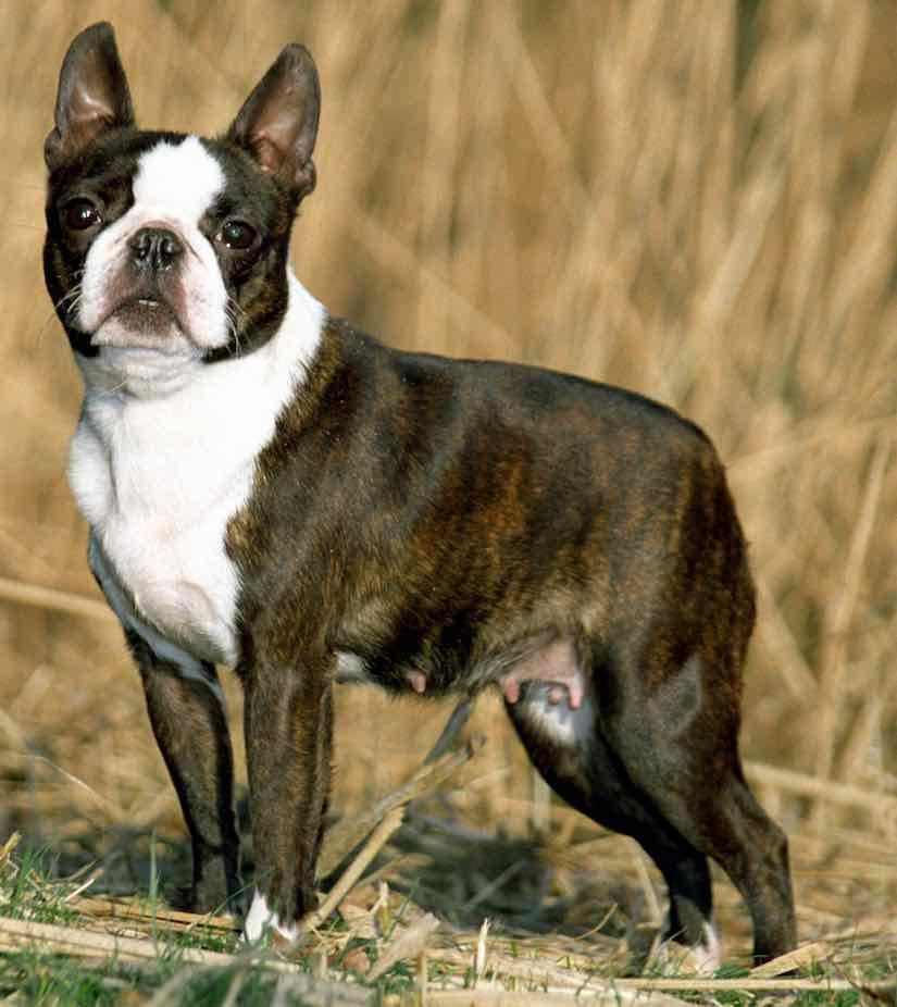 Small Breed Boston Terrier Hypoallergenic Dog Breed Dog Breeds Dog Breeds List
