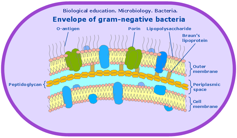 Microbiological Educational Diagram Sample Cell Envelope Of Gram Negative Bacteria Microbiology Gram Negative Bacteria Biology