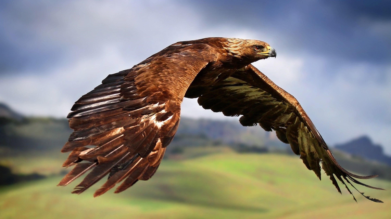 Hawks Animals Birds Flying Eagle Wallpapers Hd Desktop And Mobile Backgrounds Eagle Wallpaper Eagle Images Eagle In Flight