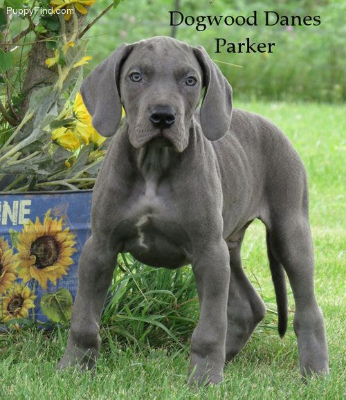 Great Dane Pictures Lfb197kkcco Great Dane Dane Puppies For Sale