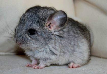 Chinchilla Chinchilla Pet Baby Animals My Animal