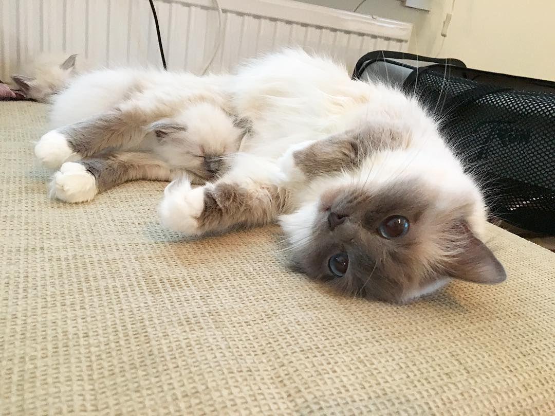 #minivaniljer #mazarin what are you doing with Bounty? #minivaniljerna2016 #birma #birman #breeder #catsofinstagram #chokladochvanilj #kitten #pinkalicious #welovecats #we_love_cats