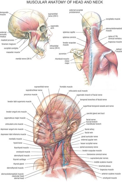 Muscular Anatomy Of Head And Neck Neck Muscle Anatomy Muscle