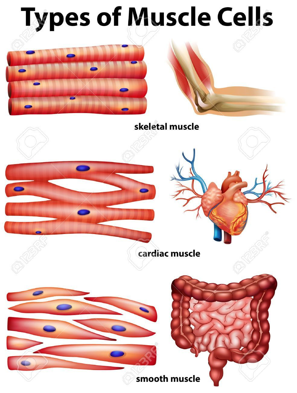 human muscle cell diagram labeled 3 pin rocker switch wiring smooth cardiac and skeletal diagrams anatomy drawing physiology