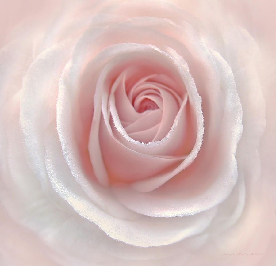 Everlasting Pink Rose Flower Photograph