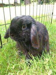 Adopt Beep On Mini Lop Rabbit Mini Lop Fur Babies