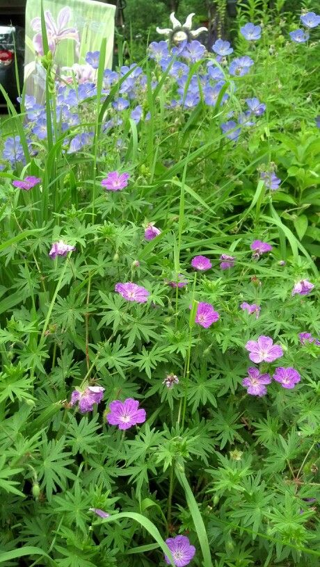 Two cranesbill