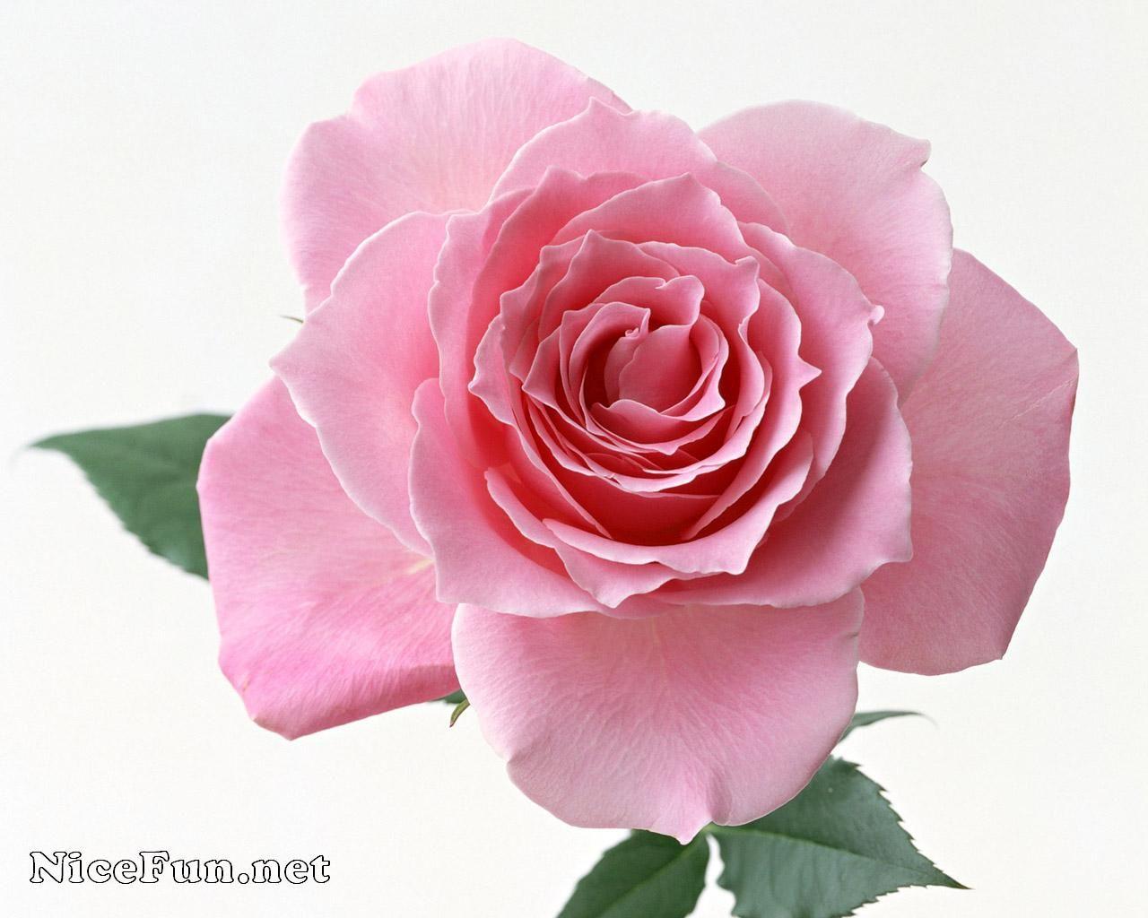 Beautiful roses most beautiful roses wallpapers for your desktop beautiful roses most beautiful roses wallpapers for your desktop free wallpapers izmirmasajfo
