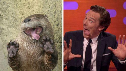 """Bereits seit einiger Zeit wird """"Sherlock""""-Star Benedict verglichen mit dem zuckersüßen Otter :D"""