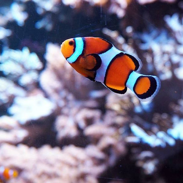 Blubb Fisch Aquarium Nemo Orange Koralle Tier Wasser Fish Animal Water Reflection Clownfisch Schwimmen Swim Underwat Photo Animals Instagram