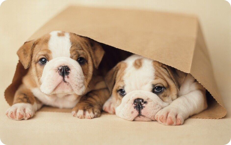 Somos Un Regalito Bulldog Puppies English Bulldog Puppies