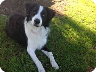 Corning Ca Border Collie Mix Meet Linc A Dog For Adoption Dog Adoption Border Collie Border Collie Mix