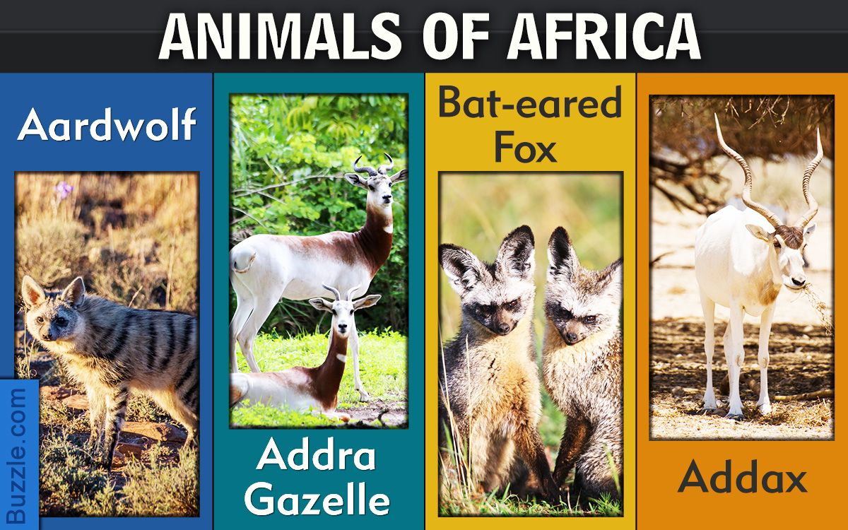 Africa, the land with an abundance of different kinds and species of animals.  There are many animals of the African wil…   African animals, Animals, List  of animals