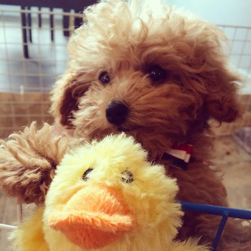 Aznu the apricot poodle playing with his duck red and