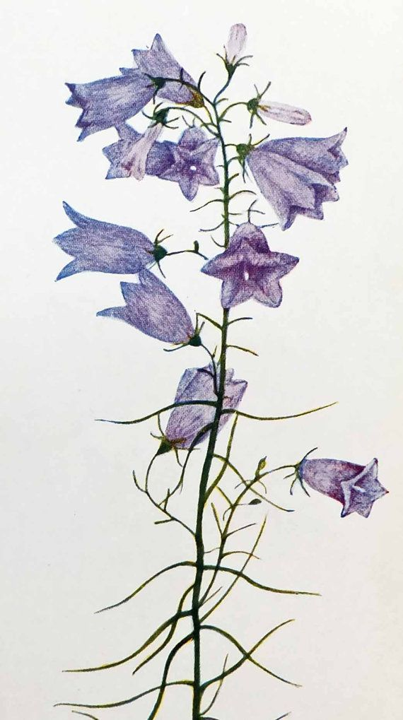 Harebell, Vintage Botanical Print, Floral Picture ...