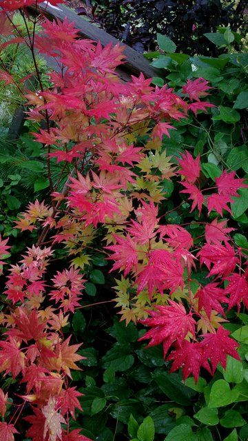 Acer Shirasawanum Autumn Moon Japanese Maple Japanese Maples