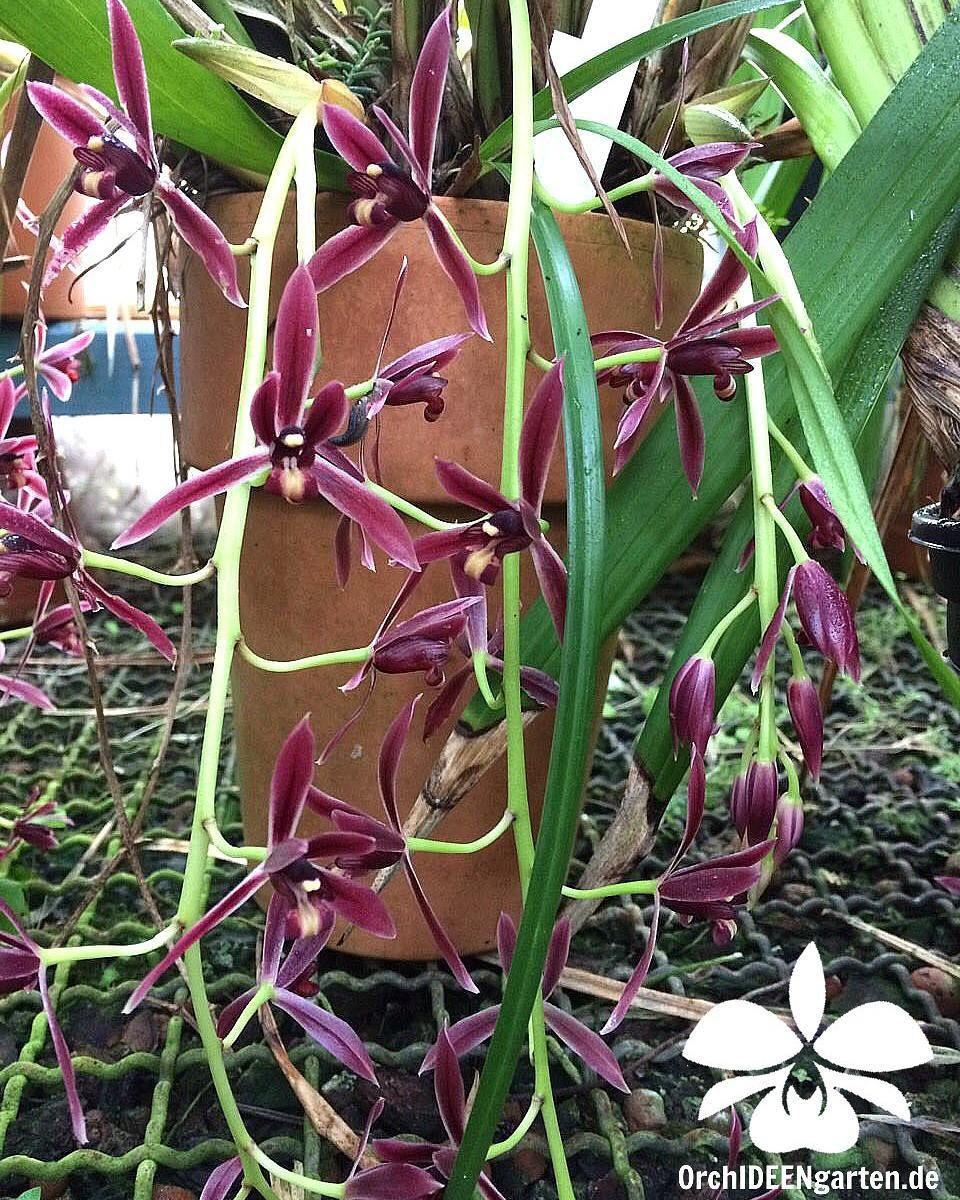 Cymbidium dayanum  #Orchidee #Orchideen #Orchideengarten #orchidacea #Blume #Blumen #flower #flowers #plant #plants #Cymbidium #botanischer #Garten #München