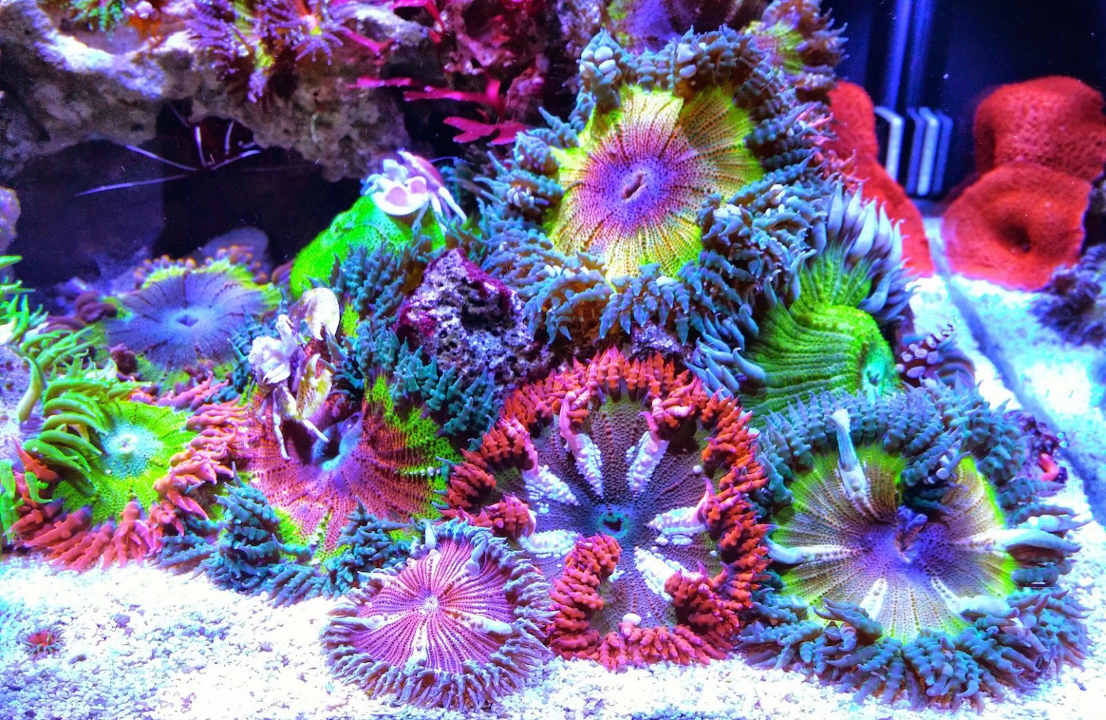Rock Flower Anemone Garden Invertebrates Gallery Saltwater Fish Tanks Saltwater Aquarium Fish Coral Reef Aquarium