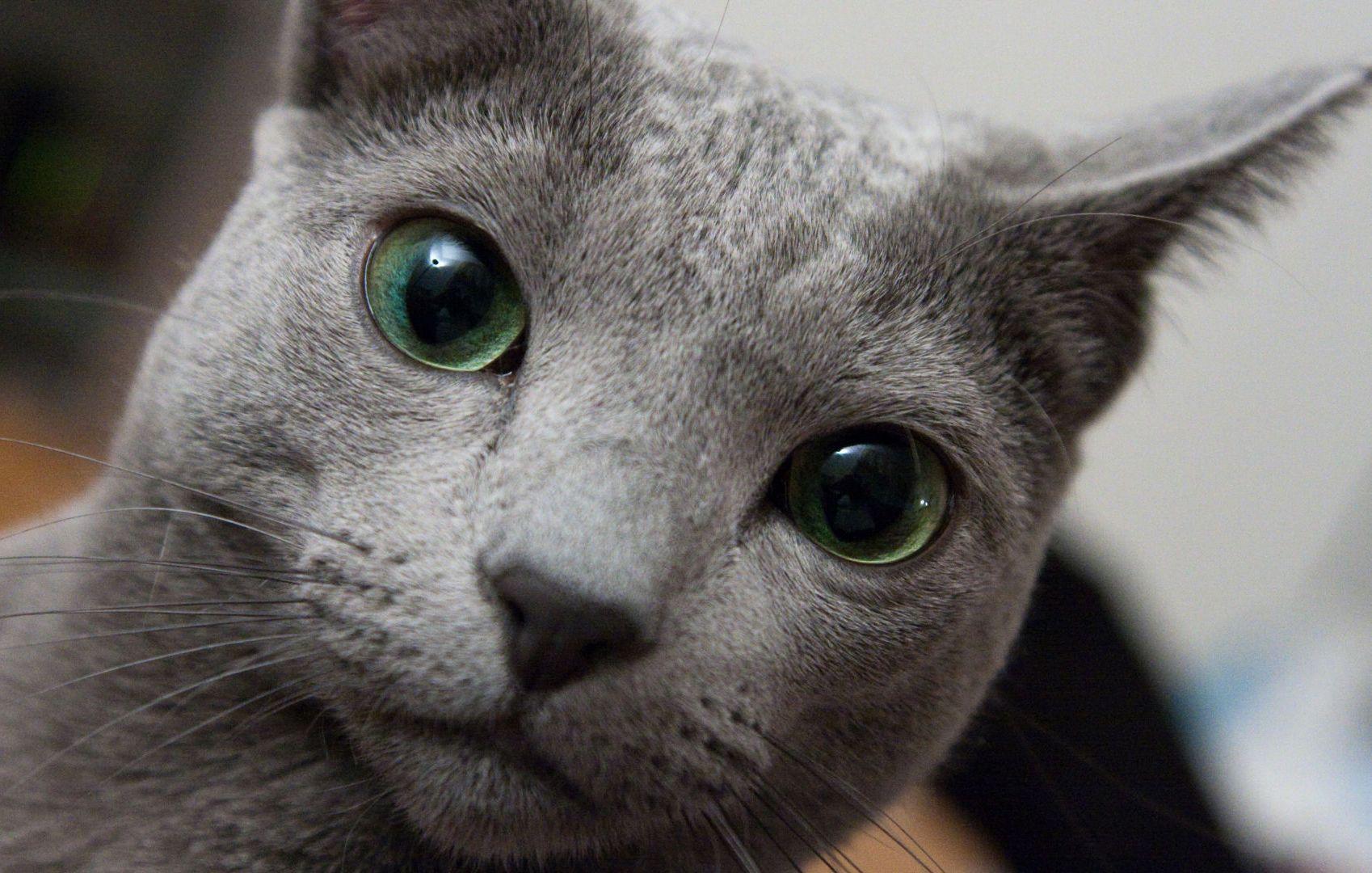 Russian Blue Cat Cat breeds, Blue cats, Russian blue